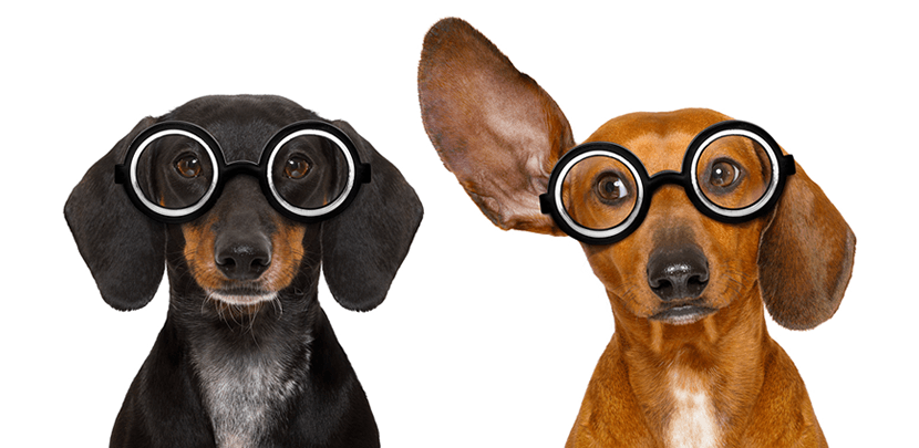 Two geeky dachshund sitting side by side